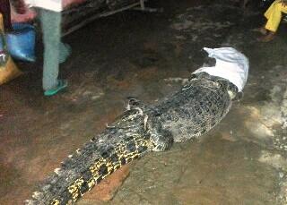 Buaya sepanjang 4 Meter di temukan di kolam Desa Kelong. Foto SAHARY